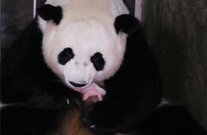 大熊猫阿宝诞下龙凤胎什么情况?龙凤胎长什么样子照片太可爱