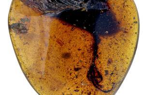 """亿年前小鸟就会用长趾纤羽在树上""""钓""""虫吃,古生物学家发现古鸟新物种"""