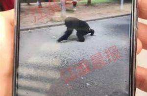 合肥大猩猩出逃怎么回事?合肥大猩猩是如何出逃的现场照曝光