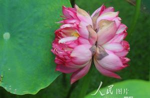 北京圆明园百年古莲复活 并蒂莲惊艳绽放为其增辉