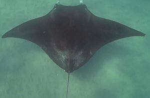 潜水遇魔鬼鱼求助怎么回事 魔鬼鱼被鱼钩钩住眼睛向潜水摄影队员求助