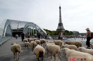 羊咩咩跨过塞纳河去荣军院吃草 巴黎举行传统季节性放牧