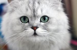 小公主们的最爱金吉拉猫