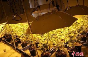 """毒贩在房间种满大麻被抓,现场景象奇特如""""热带雨林""""(图)"""