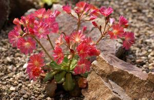 这花居然不用土,撒点碎石子埋起来,比种土里长得还好
