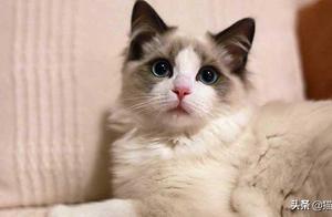 对于布偶猫,你了解多少呢?