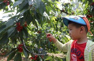 北京通州西集樱桃今起进入采摘季,采摘价格每斤35到50元不等