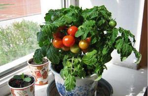 阳台种西红柿还没吃就开裂?只因为你太勤快,赶紧住手!