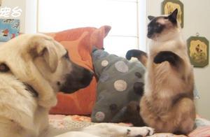 笑出眼泪,会拳击的暹罗猫,狗狗表示惹不起