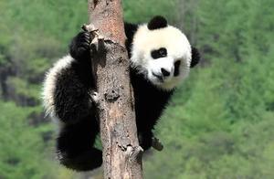 四川发现首只白色大熊猫,你见过吗?网友:你的烟熏妆呢?