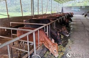 """广西环江:""""贷牛还牛""""带动群众脱贫致富"""