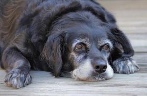 """老年狗不可避免的""""老年痴呆"""",到时候,它还记得我们爱它吗?"""