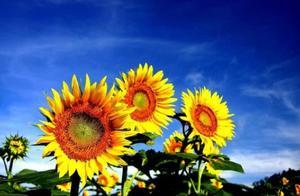 向日葵,就是最美的夏日诗词