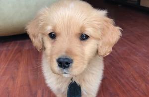 如何饲养金毛犬?分享个人经验~