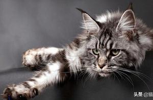 缅因猫,一种吃起饭来就停不下的猫...