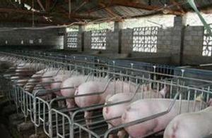 肥猪便秘不同于母猪,请养猪人注意,两者的治疗方法不同
