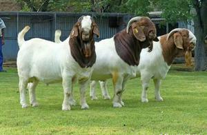 """农村老百姓养殖""""波尔山羊"""",可以实行半放牧、半舍饲饲养模式"""