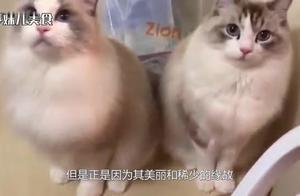 这只布偶猫价值20万,网友看后感叹:这么贵不无道理!