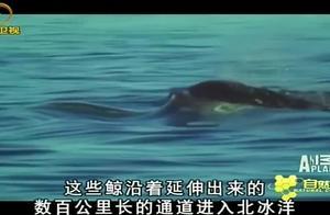 独角鲸进入北冰洋,成年雄性的獠牙能长到三米长,作用是个谜