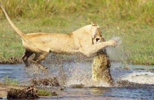 狮子想要过河,不料鳄鱼水中偷袭,直接爆头 网友:场面太惨烈