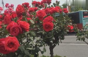 人生不易,坚强前行《慢慢人生路》《风雨彩虹 铿锵玫瑰.》送给你