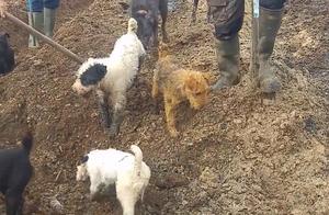 国外田地老鼠泛滥,铲子一挖就能挖出一堆,镜头拍下这一幕!