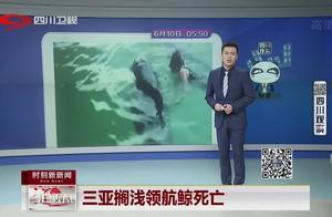 痛心!三亚搁浅领航鲸,观察救治无效不幸死亡