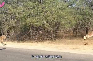 机智的羚羊被猎豹追击,羚羊做了一个举动 ,直接把猎豹都看懵了