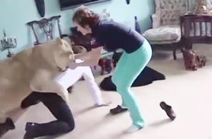 国外夫妇在家养狮子,不料发生意外,狮子突然兽性大发!