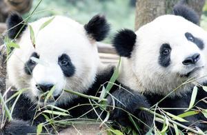 狮子和老虎为何不吃大熊猫?熊猫:怕是不知道以前叫啥吧!