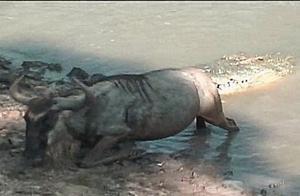 角马被鳄鱼咬住后脚拖入水中,角马拼命抵抗,鳄鱼体力不佳松口了