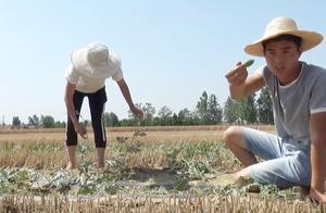 农村小两口麦茬西瓜地干活,新鲜瓜扭尝了一口,感觉还不太熟!
