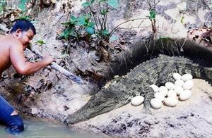 鳄鱼蛋好吃吗?一般人还真不敢下手
