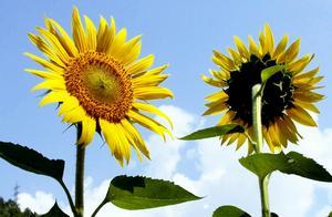 向日葵花海观赏,太阳花美景欣赏
