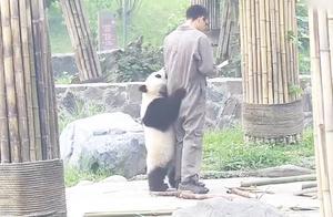 熊猫主动抱住饲养员大腿,饲养员却是爱答不理的,熊猫:我是国宝