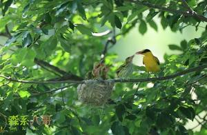 黄鹂鸟很漂亮也很少见,这次幸运地拍到了鸟儿育雏的视频