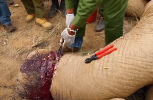 大象脚意外被割破,腐烂无法站立,工作人员一边施救一边流泪