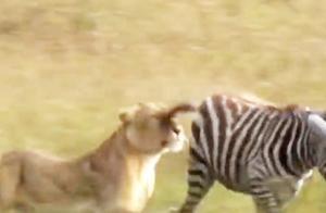 狮子一口咬住斑马,斑马顿时求生欲爆发,下一秒狮子被暴打