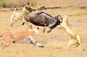 狮子死死的咬住角马,角马愤怒反击,揍得狮子落荒而逃!