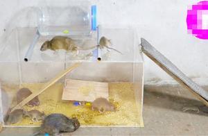 老鼠高兴了,以为自己找到了仓库,谁知下一秒它的梦想彻底破灭!