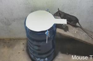 老鼠陷阱,接下来一幕发生了什么?老鼠怎么直接往里跑!