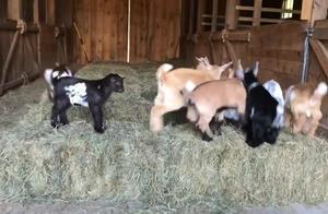 """羊宝宝们的""""奥林匹克""""!太萌啦!"""
