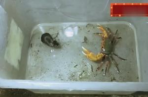 想不到螃蟹也有这么凶残的一面,居然手撕老鼠看以后谁欺负它