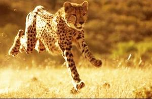 为什么猎豹奔跑速度如此之快?跑车造型竟是仿造猎豹体型建造的?