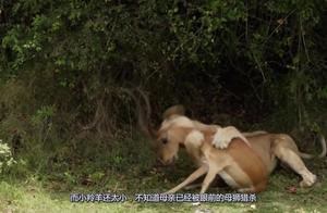 狮子将母羚羊吃的渣都不剩了,转身发现小羚羊,它的选择震撼了我