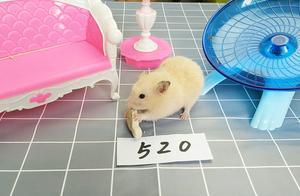 520情人节,小仓鼠想谈恋爱,主人:想都别想
