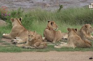 一群休息的森林之王狮子,原来你们也有这样温暖的时候啊!