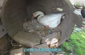 一只母鸡下了12个蛋,竟然被大白鹅把窝给占了,两个抢着孵小鸡