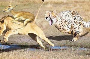 上帝之狮!难以置信,狮子保护新生小羚羊,逃出6只猎豹的口中