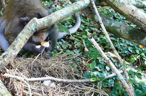 猴子偷袭巨蜥家,把巨蜥的蛋全部吃掉,结果付出生命的代价!